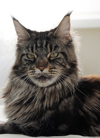 mainecoons cattery