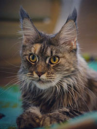 mainecoon silver
