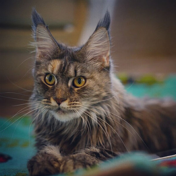 bluecream silver maine coon female