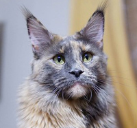 female maine coon