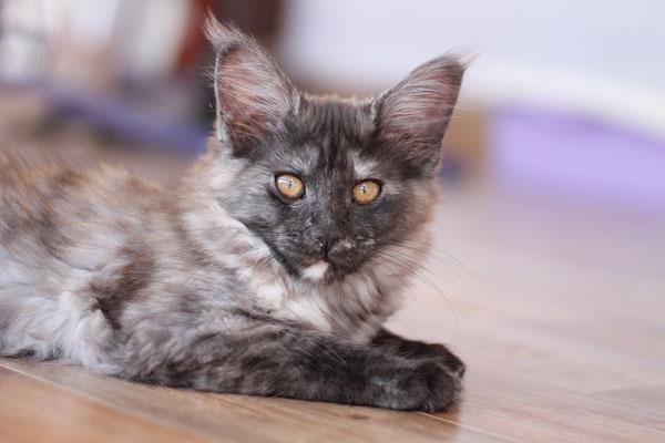Котята Мейн-кун г.Томск: ophirus.ru/Miot O/O`Nega.html