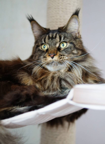 cattery Maine coons