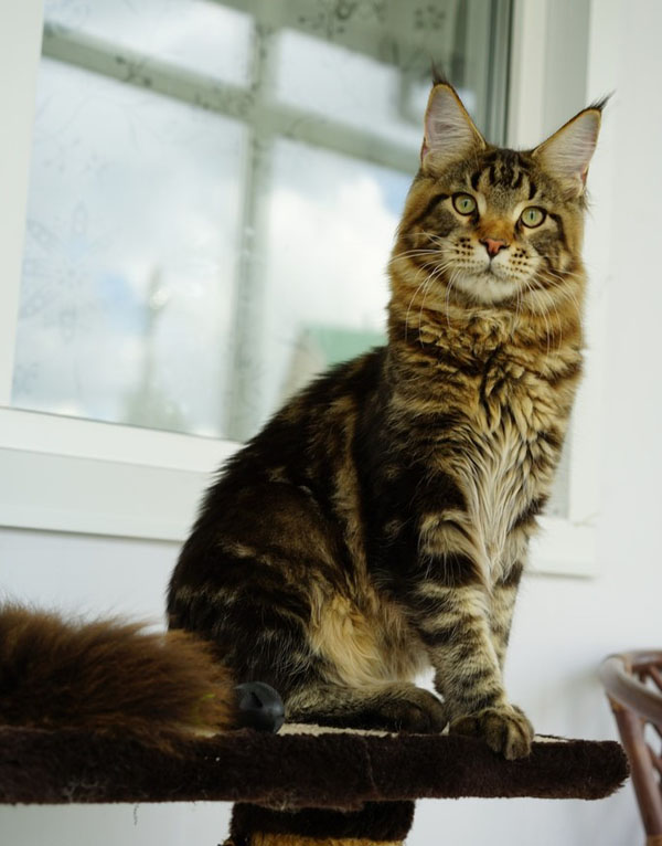 maine coon for breeding