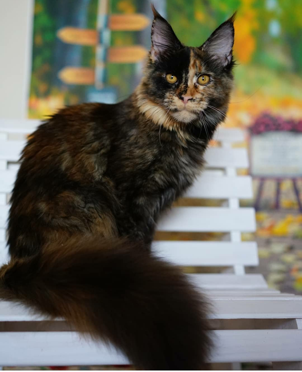maine coon best cattery